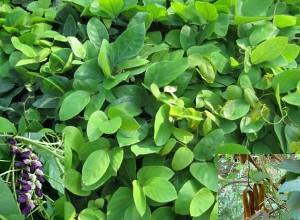 La plante Kapikacchu