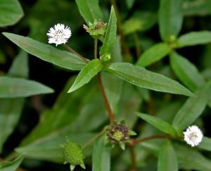 Bhringaraj, la reine des plantes pour le cheveu