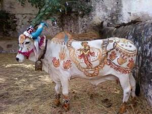 La vache est sacrée en Inde (photo Arun Dixit)