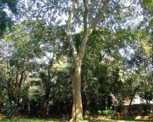 L'arbre Arjuna peut mesurer 30 m