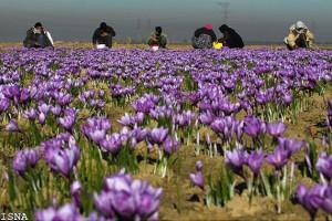 320.000 fleurs pour 1 Kg de safran!