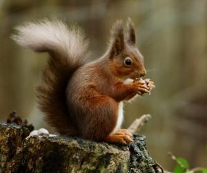 L'écureuil change de régime en automne