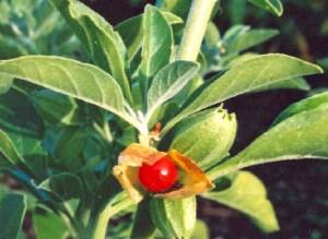 L'arbuste comporte des baies rouges