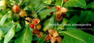 L'Ashwagandha est un arbuste (photo homeremedies)
