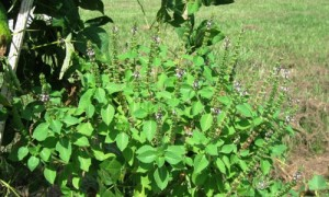 Un arbuste de 30 à 60 cm en moyenne