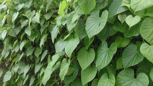Les feuilles en cœur du Guduchi