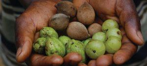 Cueillette du fruit sauvage