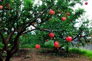 Le fruit est cueilli à maturité